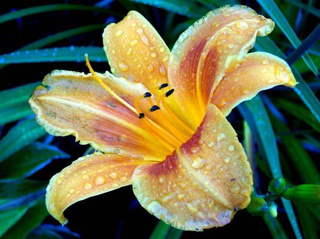 иллюстрация цветка лилии.